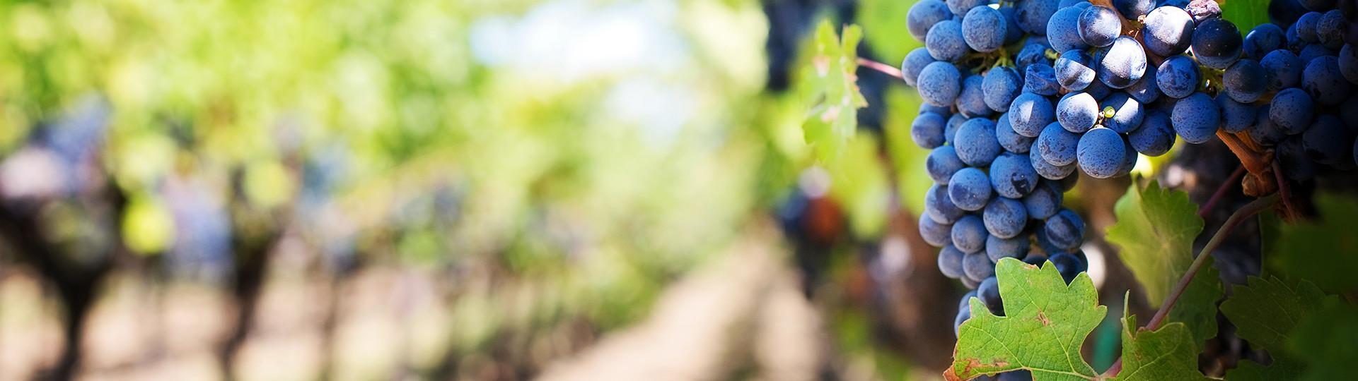 La route du vignoble de Dardagny